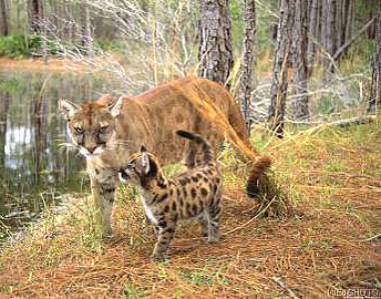 Florida panther - mother and baby