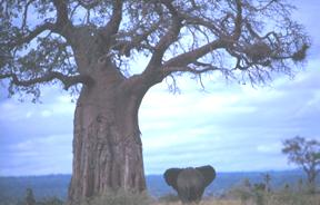 Amazing Image Of A Baobab Tree With An Elephant Walking Underneath It.