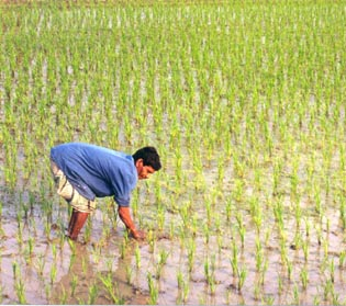 A Bangladesh worker in a rice field. Two-thirds of the Bangladesh population works in the agricultural industry.