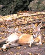 Imagen de un canguro.