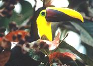 Image of a Toucan.